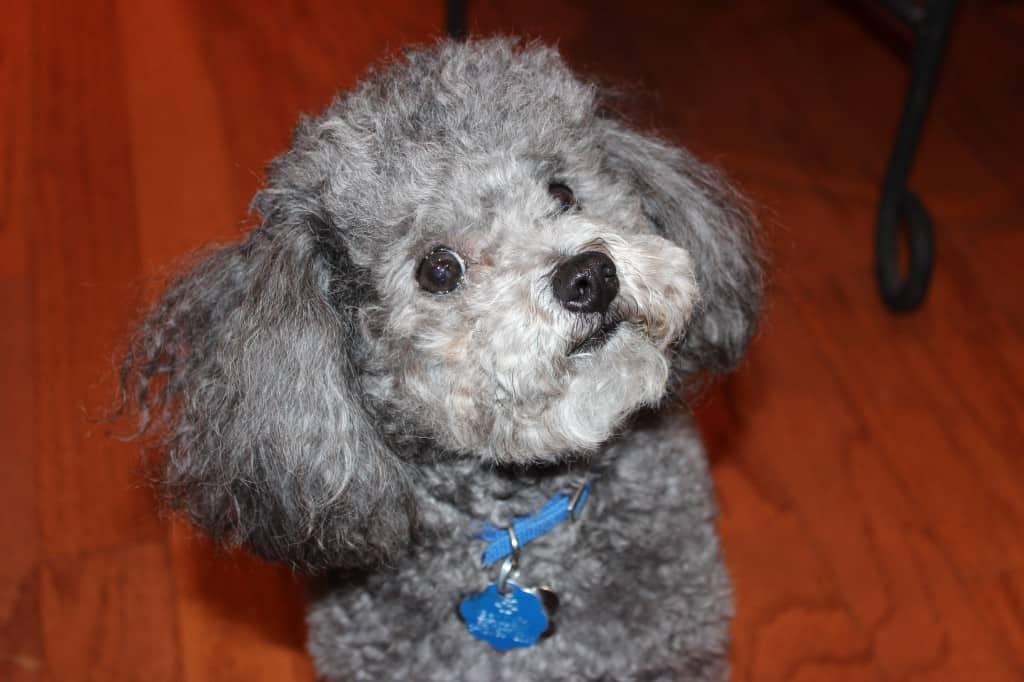 Shakespeare - Dog of Simply LaKita